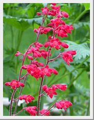 Heuchera Coral Forest
