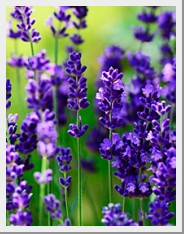 Lavender Lavance Deep Purple