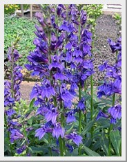 Lobelia Fan Blue