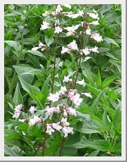 Penstemon Mystica