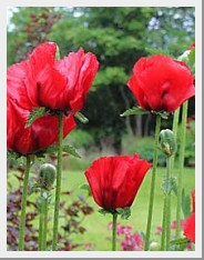 Poppy Beauty of Livemere