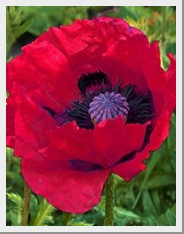 Poppy Great Red
