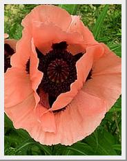 Poppy Pizzicato