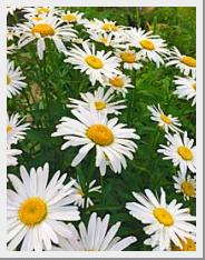 Shasta Daisy Bright Side